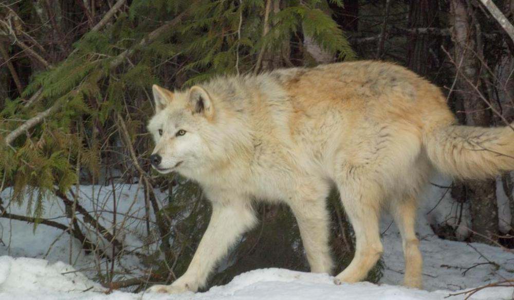 golden-bc-wolf-centre-resized